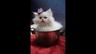 Persian cat - funny video