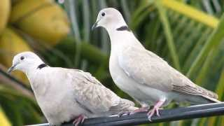 Dove Pictures and Sounds