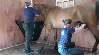 Arab Stallion Farouk is castrated.  WARNING some graphic content