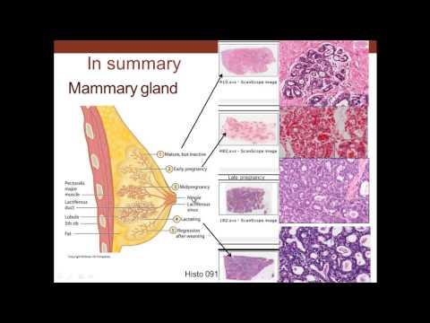 Xxx Mp4 18 Medical School Histology Female Reproductive System Part 3 Cervix Mammary Gland Placenta 3gp Sex