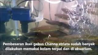 Pembesaran Ikan Gabus Di Akuarium
