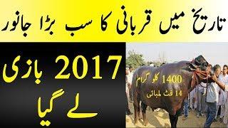Achi Info   2017 Ka Qurbani Ka Sb Say Bara Janwar