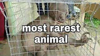 Man eating animal caught at Kerala Karnataka border In India..(New Rarest Animal)