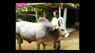bangladeshi bull ( France connection