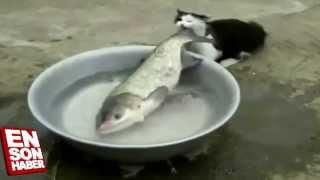Kedinin boyundan büyük balık ile imtihanı