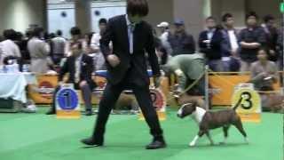 Miniature Bull Terrier FCI Japan international dog show 2012