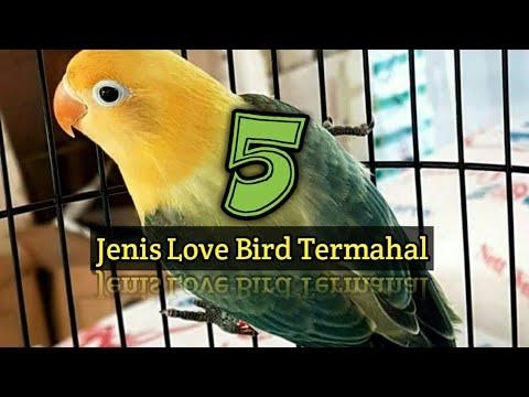 5 JENIS  LoveBird TERMAHAL 2017, Beserta Harganya