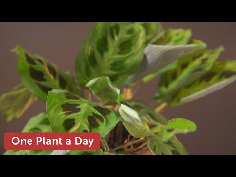 Xxx Mp4 26 Of 365 Maranta Leuconeura Var Kerchoveana Prayer Plant Houseplant Care 3gp Sex