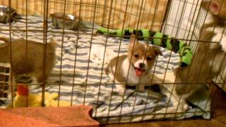 6 1/2 week Corgi puppies missing their momma! :)
