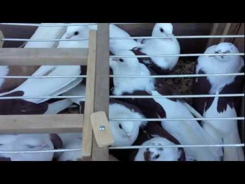 Pigeon meet Phoenix 1 29 12