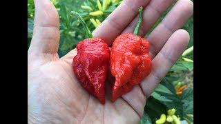 What's That Pepper Ep35 - StarrRacha F2 Crimson Starr