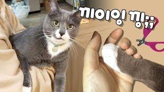 발톱 깎기 싫어섴ㅋㅋ 멍멍이처럼 낑낑대는 고양이 (흰양말 클로즈업)