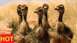 National Geographic Documentary Animals - Ostrich SD Discovery Channel