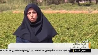 Iran Grapes harvest, Summer 1398, Ruyan village, Shahrud county برداشت انگور روستاي رويان شاهرود