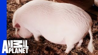 What's Gotten This Little Piggy So Far Overweight? | My Big Fat Pet Makeover