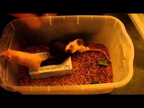 Xxx Mp4 Ratties Part 3 Sally Dondo And Screamer 3gp Sex
