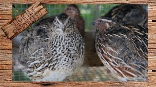 When Should I Replace My Breeding Quail - The SR Quail Update 7-24-17