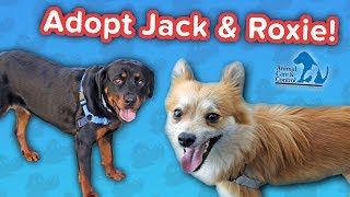 Adopt Jack & Roxie! // Pom-Chi & Rottweiler // Adoptable Featurette