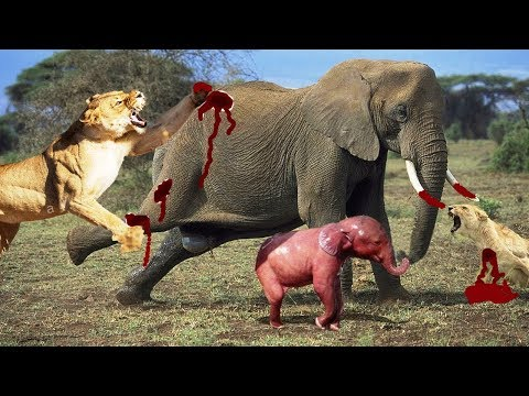 Xxx Mp4 LIVE Animal Fight Lion Vs Elephant If You Are Scared Don T Watch This National Geographic Animals 3gp Sex