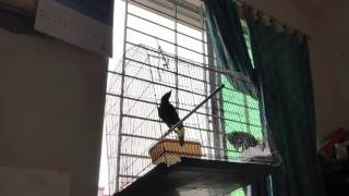 Leelaboti pet Mynah talks. ( কথা বলা ময়না পাখি )