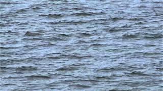 Séquence respiratoire - marsouin commun © GREMM