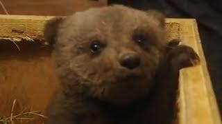 Boris the cute baby bear