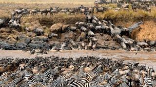 Great Migration and crocodile attack / rio Mara y ataque de cocodrilos