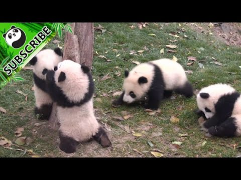 Xxx Mp4 Bossy Panda Angry With The One Who Trying To Climb 39 39 His 39 39 Tree 3gp Sex