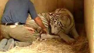 Royal White Tiger birth and Lion man in New Zealand 1