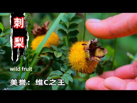 """全身长满【刺】的野果� �吃过吗?在""""贵州街边""""这种野果叫做""""刺梨""""它被称为""""维C之王""""盛产中� 贵州,这3中吃法最� 发挥出它的价值""""wild fruit thorn pear""""【野小妹wild girl】"""
