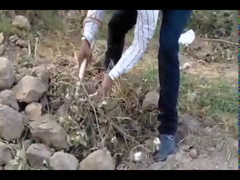 live cathing snake video village virka near malout date:-26/10/2014 con/n vikram malout 98141-71064