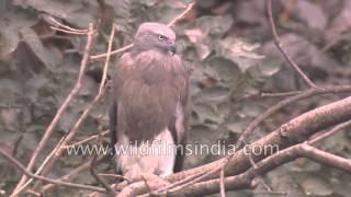 Grey headed or Lesser Fishing Eagle in the sub Himalaya