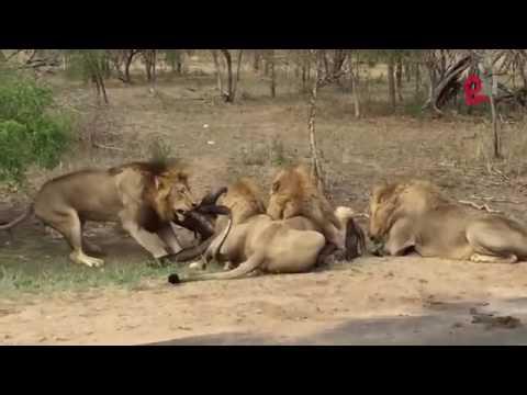 Lion of sasan gir   Wapsow Com