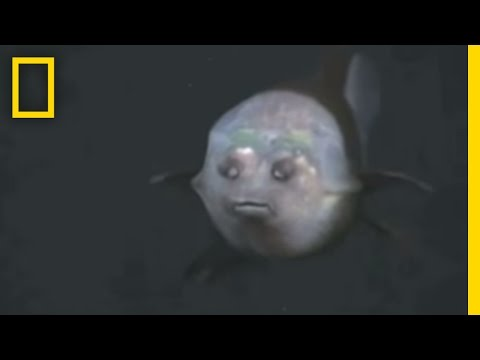 Fish With Transparent Head Filmed National Geographic