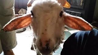 The lambs Morko and Milko / Агънцата Морко и Милко