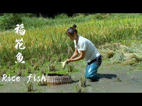 吃魚沒有捉魚歡,收稻谷的時候也要收獲魚Rice fish