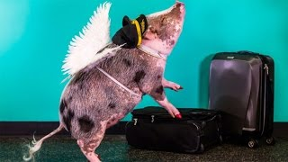 Airport Pig Makes Flying Fun