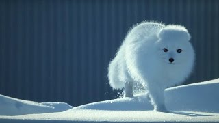 How to Survive as a Tiny Arctic Fox | Wild Alaska | BBC Earth