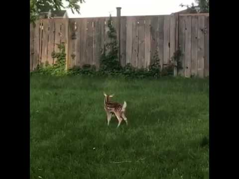Xxx Mp4 Dog And Baby Deer Play Together In The Backyard 3gp Sex