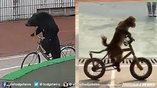 Bear Vs Monkey Race At Zoo @hodgetwins
