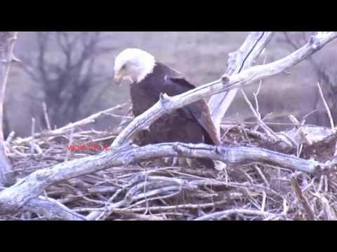 Standley Lake (CO) Bald Eagles Hatchling 4-7-17