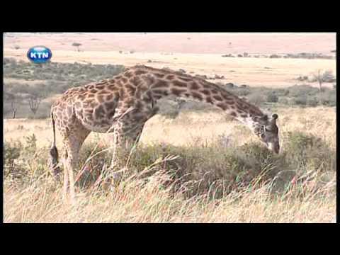 Xxx Mp4 Serengeti Controversy Swahili 3gp Sex