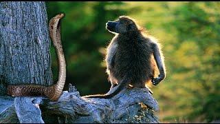 कोबरा और बन्दर की लड़ाई - जानवरों की लड़ाई का विडियो देखे