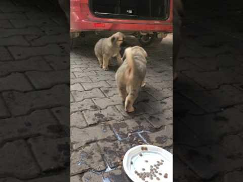 Aslan başlı yavru köpekler beslenme saati.