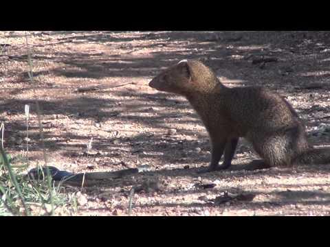 Slender mongoose kills black mamba FULL VIDEO