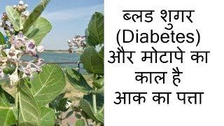ब्लड शुगर (Diabetes) और मोटापे का काल है आक का पत्ता