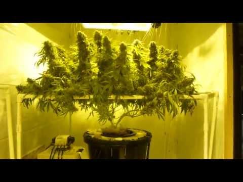 How to Grow DWC Cannabis pt 16 SSSDH Harvest