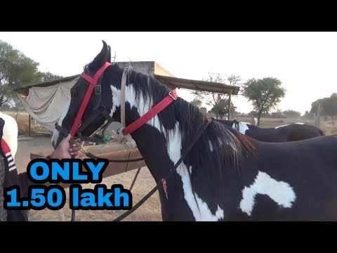 Xxx Mp4 Marwadi Mare Sell मारवाड़ी अबलक घोड़ी 3gp Sex