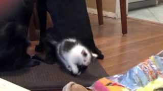 Kitten Plays With Dog's Wagging Tail
