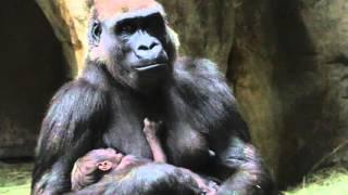 Baby Gorilla born at Fort Worth Zoo!